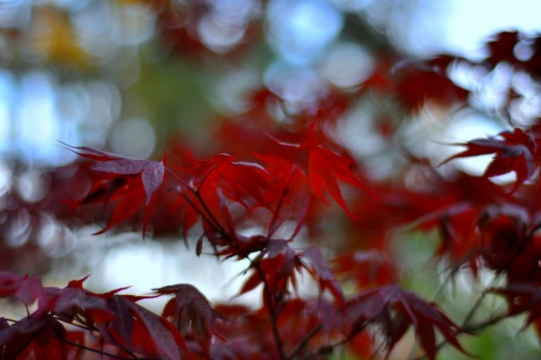 bokeh fall japanese maples
