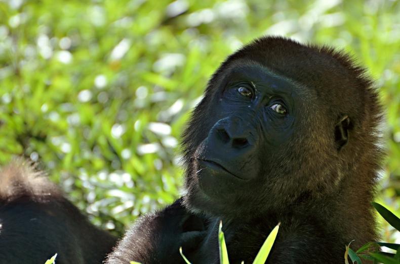 habitat zoo gorilla portrait