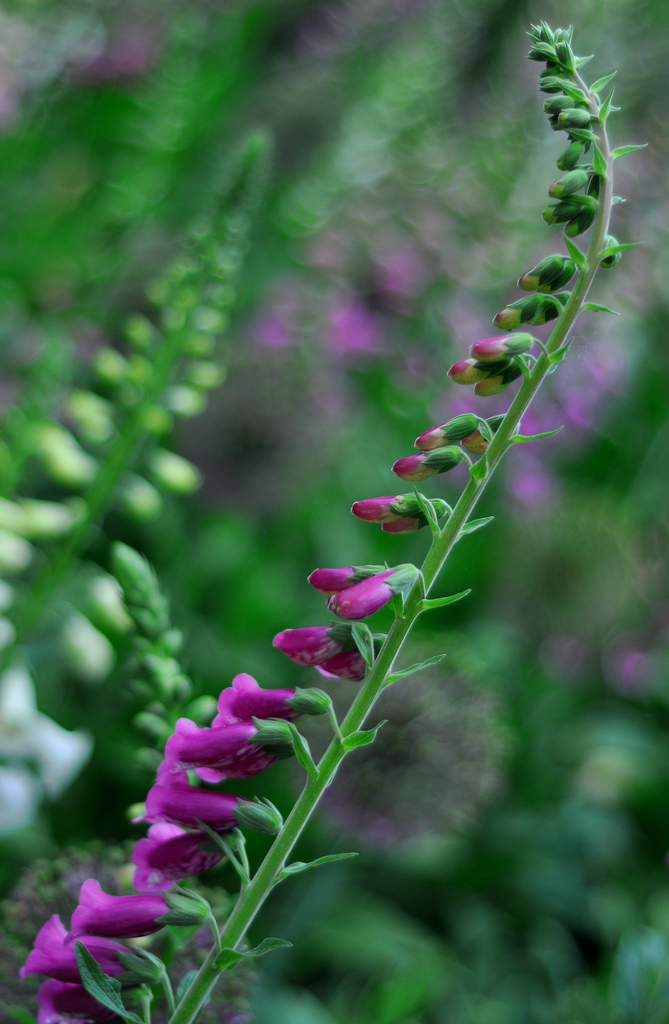 dof snapdragon purple white